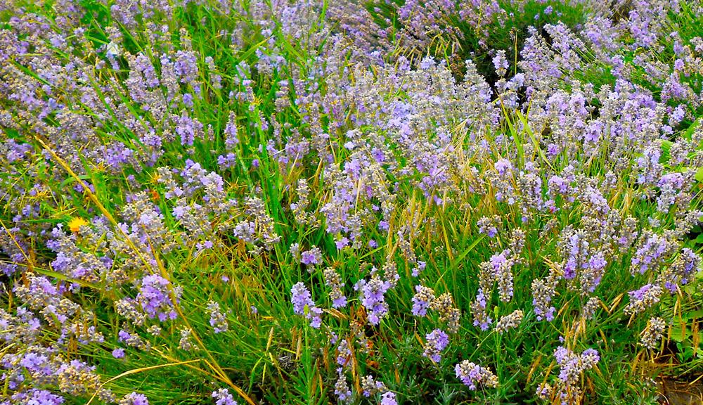 Lavender oil bulgaria 187 gallery