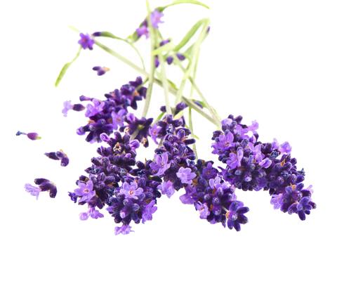Lavender Oil Bulgaria Our Plants